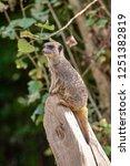 meerkat  suricate  suricata...   Shutterstock . vector #1251382819