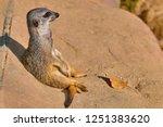 meerkat  suricate  suricata...   Shutterstock . vector #1251383620
