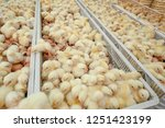 Small photo of Baby chicks just coming out from broiler egg production, multipliers growth farm in Hatchery unit.