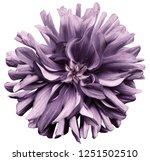 purple  flower dahlia  on a...   Shutterstock . vector #1251502510