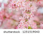 blossoming branch of pink apple ... | Shutterstock . vector #1251519043