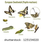 Swallowtail Life Cycle....