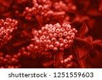 Beautiful Pyracantha Bush With...