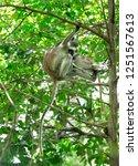 red colobus piliocolobus kirki... | Shutterstock . vector #1251567613