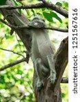 red colobus piliocolobus kirki... | Shutterstock . vector #1251567616