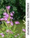 pretty pink flowers in a... | Shutterstock . vector #1251598363