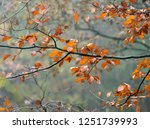 beech trees and autumn leaves... | Shutterstock . vector #1251739993