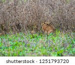 Stock photo a european hare lepus europaeus or brown hare hiding in long grass in a field 1251793720