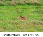 Stock photo a european hare lepus europaeus or brown hare hiding in long grass in a field 1251793723