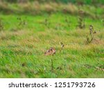 Stock photo a european hare lepus europaeus or brown hare hiding in long grass in a field 1251793726