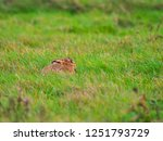 Stock photo a european hare lepus europaeus or brown hare hiding in long grass in a field 1251793729