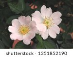Pink Flowers Of Wild Rose