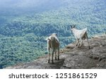 domestic goats on the rocks in... | Shutterstock . vector #1251861529