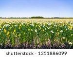 daffodil flower or lent lily ...   Shutterstock . vector #1251886099