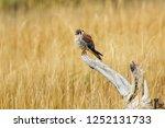 american kestrel  falco... | Shutterstock . vector #1252131733