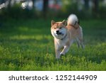 a dog playing in the field. ... | Shutterstock . vector #1252144909