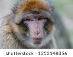 close up portrait of barbary... | Shutterstock . vector #1252148356