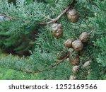 Cypress cedar tree with cones....
