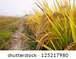 rice plants ready to harvest | Shutterstock . vector #125217980