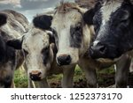 curious shaggy cows huddled...   Shutterstock . vector #1252373170