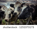 friendly shaggy cows grouped...   Shutterstock . vector #1252373173