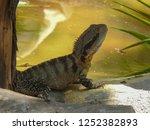 australian water dragon on... | Shutterstock . vector #1252382893
