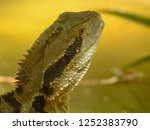 australian water dragon on... | Shutterstock . vector #1252383790