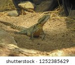 australian water dragon on... | Shutterstock . vector #1252385629