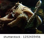 graceful swimming octopus with... | Shutterstock . vector #1252435456