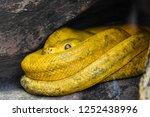 yellow snake close up | Shutterstock . vector #1252438996