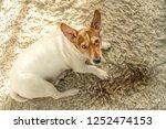 Little Cute Dog Jack Russell...