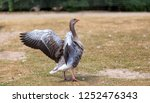 Greylag Goose In A Meadow...