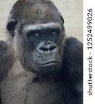 beautiful portrait of a gorilla.... | Shutterstock . vector #1252499026