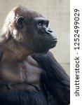 beautiful portrait of a gorilla.... | Shutterstock . vector #1252499029
