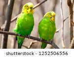 Budgerigar Sits On A Branch....