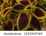 bizarre and unique leaf and... | Shutterstock . vector #1252545769