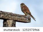 resting common kestrel  | Shutterstock . vector #1252573966