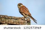 resting common kestrel  | Shutterstock . vector #1252573969
