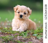 Stock photo cute poodle puppy 125264108