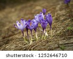 blooming violet and blue... | Shutterstock . vector #1252646710
