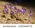 blooming violet and blue... | Shutterstock . vector #1252646713