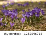 blooming violet and blue... | Shutterstock . vector #1252646716