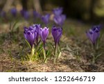 blooming violet and blue... | Shutterstock . vector #1252646719