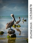 Pelicans Sitting In A Line  3...