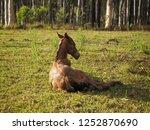 new born foal. bay roan...   Shutterstock . vector #1252870690