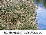 reed belt with flowering reeds...   Shutterstock . vector #1252933720
