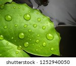 Green Lotus Leaf With Water...