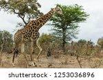 encountered this giraffe while... | Shutterstock . vector #1253036896