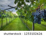 grape harvest italy | Shutterstock . vector #1253102626