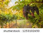grape harvest italy | Shutterstock . vector #1253102650